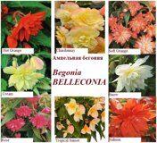 Begonia BELLECONIA.