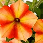 Crazytunia Citrus Twist  42870