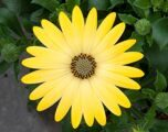 FlowerPower® Lemon Yellow