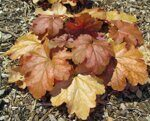 Heuchera hybrida Carnival Coffee Bean.