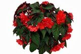 Begonia-Summerwings-Double-Red