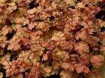 Heuchera hybrida Carnival Coffee Bean