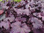 Гейхера Heuchera Forever Purple