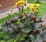 Бузульник Ligularia dentata Othello — копия
