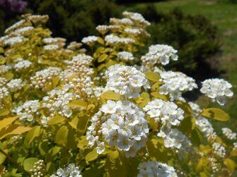 Спирея Вангутта   Spiraea vanhouttei 'Gold Fountain'
