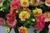 Double Pink Yellow-2