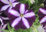 Bonnie Purple Star