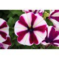 Petunia Peppy Burgundy