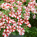 Crazytunia Cherry_Cheesecake_42224_1