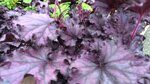 Гейхера Heuchera Forever Purple.