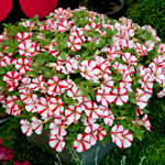 Crazytunia Cherry_Cheesecake_42224