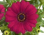 FlowerPower® Purple Red