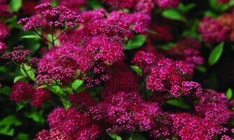 Спирея японская  Spiraea japonica 'Anthony Waterer'