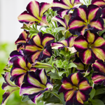Crazytunia Pulse_42040_01