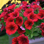 Crazytunia Red_Blues_42041_02