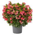 Begonia Viking XL ROSE ON GREEN