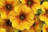 Petunia-Beautical Caramel-Yellow (Petchoa)