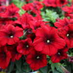 Crazytunia Red_Blues_42041_01