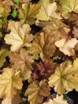 Heuchera hybrida Carnival Coffee Bean..