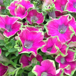 Crazytunia Kermit_Purple_42854