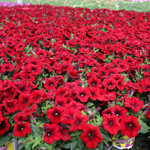Crazytunia Red_Blues_42041_03